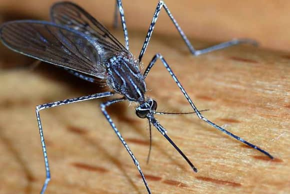 Rockland man swats at pestiferous mosquito calls