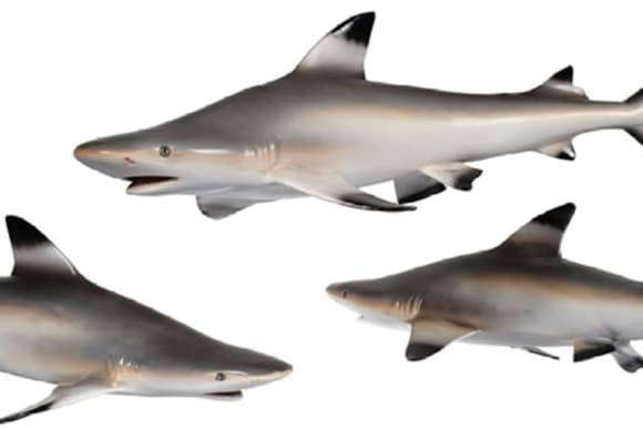 Sharks visit the Bruce Museum in Greenwich