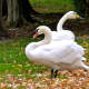 Kimberly Gussen of Closter Nature Center helped a female swan find her new mate in Cornwall, NY.