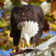 One of Alomaisi's photos of an eagle enjoying a meal.