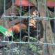 Rochan the red panda beats the heat Tuesday at Beardsley Zoo.