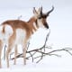 A Pronghorn in the snow at the Beardsley Zoo in Bridgeport.