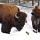 The Bison are well-suited to the coldest temperatures at the Beardsley Zoo.