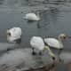 A group of six swans made a cove off Black Rock Harbor their temporary digs in Bridgeport Wednesday morning.