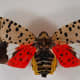 Don't let this winged version of the lanternfly fool you. It looks like a butterfly, but it can destroy your newly-planted fruit trees -- and it has recently invaded New York state.