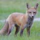 Warning Issued For Aggressive Fox At Large In Dutchess