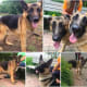 ADOPT: Abused Franklin Lakes German Shepherds Need Homes