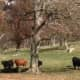 A group of cattle at Stone Barns in Pocantico Hills.