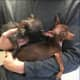 Know Them? Pair Of Chihuahuas Found In Westchester By Ridgefield Resident
