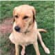 Seen Her? This Missing Yellow Lab Last Seen In Northern Westchester Shopping Center