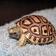 Leopard tortoise hatched at Maritime Aquarium in Norwalk on Sunday, Jan. 6