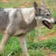 Police Issue Alert Following Multiple Coyote Sightings In Westchester