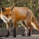 Warning Issued For Area Residents After Rabid Fox Captured In Dutchess