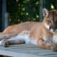 Animal Believed To Be Mountain Lion Chased By Dogs In Area