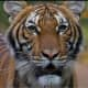 COVID-19: Tiger At Bronx Zoo Tests Positive, Becoming First US Case In An Animal