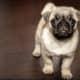 A pug tested positive for COVID-19 at Duke University.