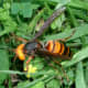 Another look at the Asian giant hornet