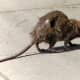 COVID-19: Rats! CDC Issues Warning For 'Aggressive,' 'Hungry' Rats Amid Pandemic