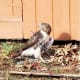 The hawk with an arrow piercing its body