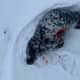 This grey seal pup was found in the snow bleeding from puncture wounds earlier this month.