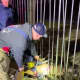 VIDEO: Gloucester Firefighters Free Deer From Fence