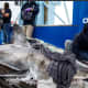 Great White Shark Swims Along Jersey Shore Coast