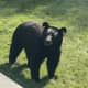 """""""Bear 211"""" was caught taking in the sites outside a Fairfield home."""