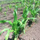 "Corn grows at Fairgate Farm. Located at 129-143 Stillwater Ave., it is having a free public event called ""It Isn't Easy Being Green,"" Saturday from noon until 2 p.m."