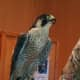 Athena, a Peregrine Falcon, perches on the falconers glove of Mary-Beth Kaeser at Wilton Library Wednesday.