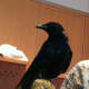 Corbin, an American Crow, at the Wilton Library on Wednesday.