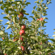 Apples on a tree at Outhouse Orchards in North Salem.