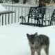 A coyote stares from the patio after narrowly missing out on attacking the dog that belonged to the woman who took the photo in North Stamford. Police urge people to keep an eye on their pets and small animals after three attacks on dogs last week.