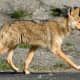 Police throughout the Hudson Valley have issued warnings about coyotes, and are drafting town plans and policies to curtail them.