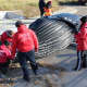 Experts examine a humpback whale that was found dead in Long Island Sound over the weekend.