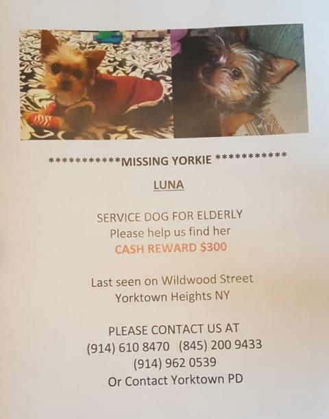 Seen Her Yorkie Puppy Goes Missing In Yorktown Yorktown Daily Voice