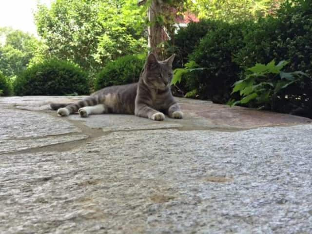 North Castle pet owners are searching for a gray and tan cat that recently went missing.
