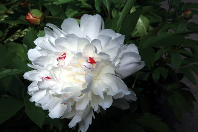 Sunlight adds a glow to this white peony. Photograph by Bob Rozycki.