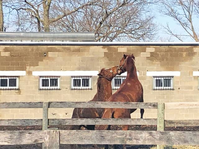 Two geldings horsing around in an outdoor paddock at the Bronx Equestrian Center. Photograph by Jena Butterfield.