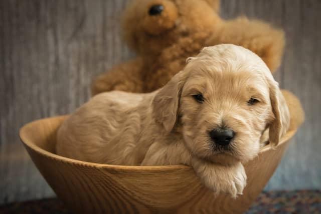 One of Denise Jacobus' Australian Labradoodle puppies. Photographs courtesy Mary Beggs of Muddy Dog Photography.