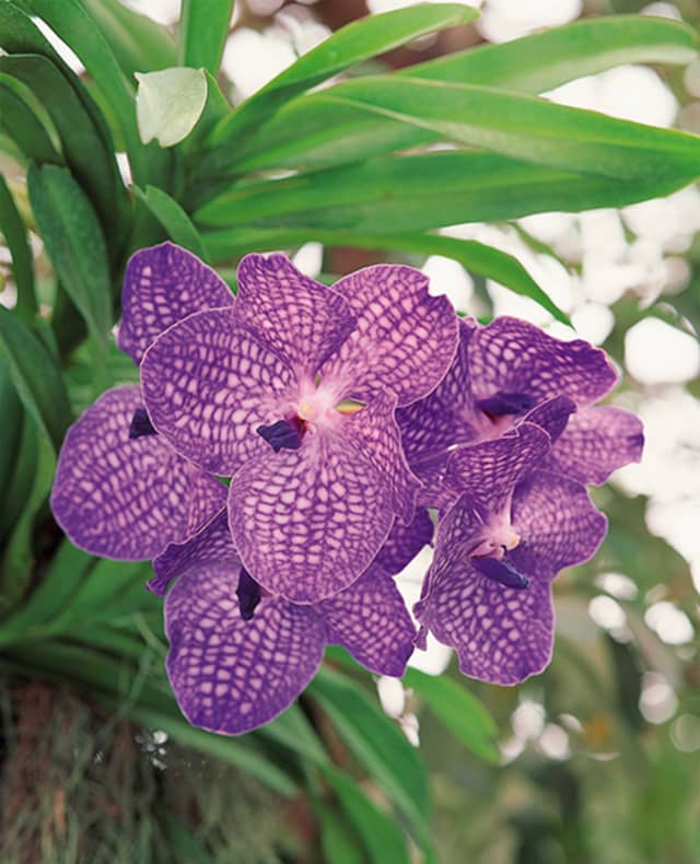 1.	The 2018 edition of The Orchid Show at the New York Botanical Garden will open March 3. Here, an example of the Vanda orchid. Courtesy the New York Botanical Garden.