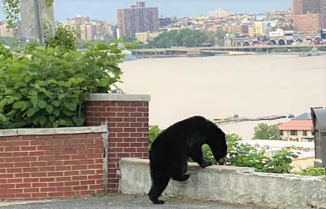 Riverside Drive and the West Side Highway can be seen on the other side of the Hudson during the young black bear's visit to Cliffside Park.