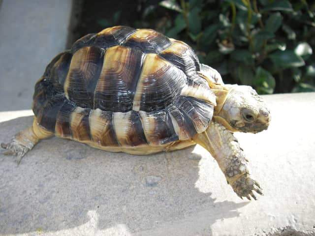 A Bronxville woman is hoping her two missing tortoises were taken by someone and not the prey of another animal.