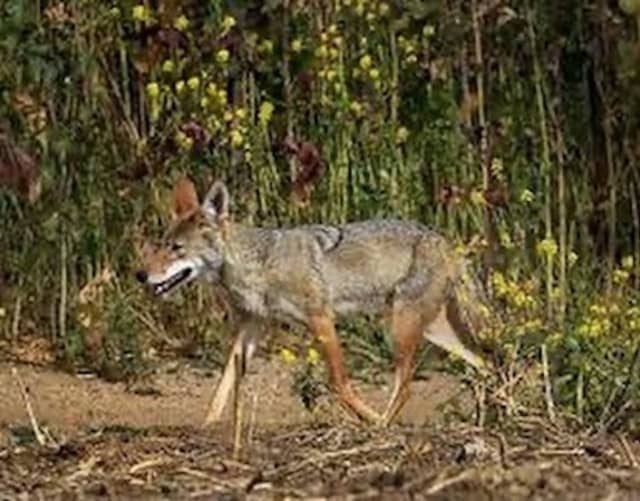 A woman was bitten by a coyote while walking in New Canaan.