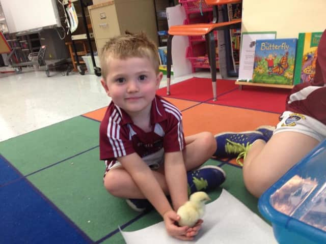 A County Road School student in Demarest holds a chick. The school could add more preschool classes pending a parent survey.