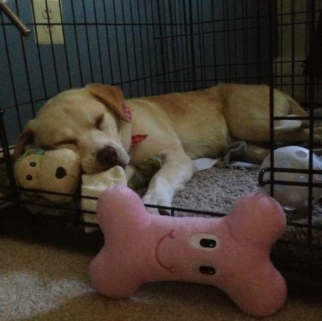 Molly, a yellow lab, is missing from the Suffern/Mahwah area.
