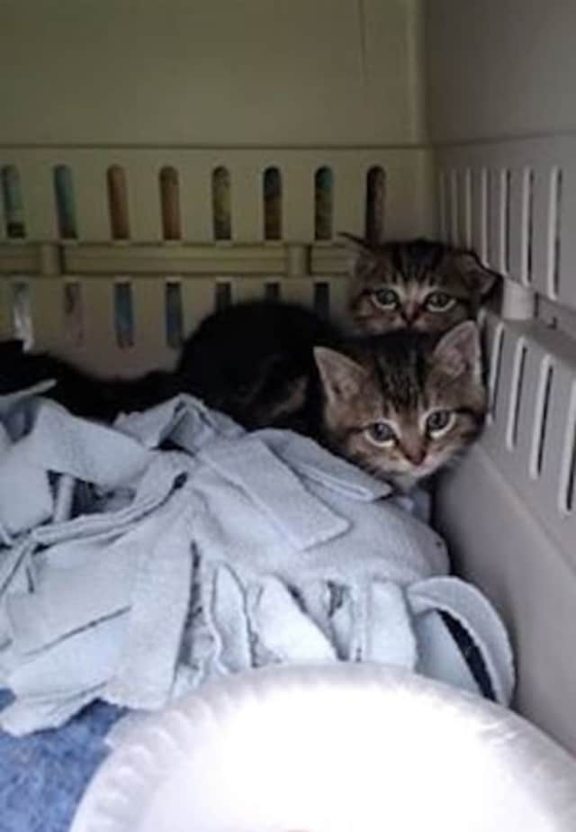 Four kittens rescued from a storm drain at Quinnipiac University Tuesday have been taken in by a Fairfield-based animal rescue group.