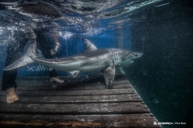 """Martha, a juvenile white shark who measures approximately 7 feet long, was """"pinged"""" just before 8 a.m."""