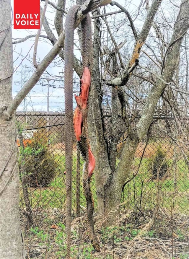 Dead snake hangs from tree near Sheraton Mahwah Hotel off Routes 287 and 17 and the N.Y. State Thruway.