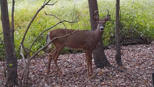 Linda Moran happened upon this buck during her morning walk at Twinney's Pond Thursday.