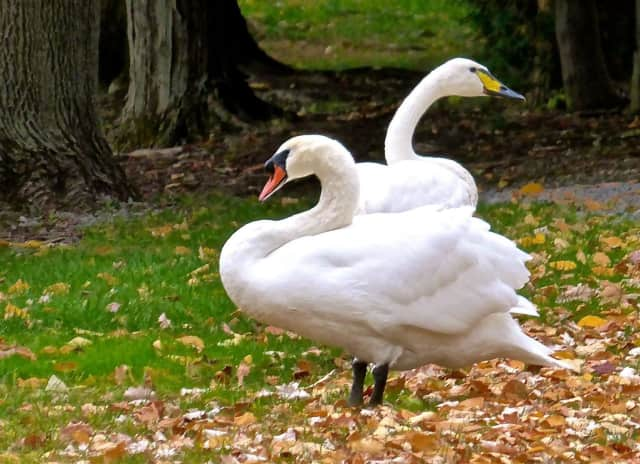 A report of aggressive mute swans has been reported at Lake Zoar in Newtown.